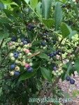 blueberry bush 1